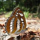 關於美濃黃蝶祭